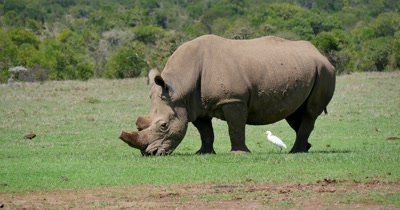 Royalty Free Rhinos Stock Footage