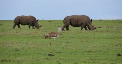Rhino Pair Feeding with Bustard in Foreground
