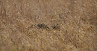 Serval Cat hunting in tall grass