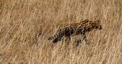 Serval Cat walking in tall grass