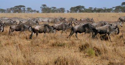 Wildebeest herd and zebra herd moving