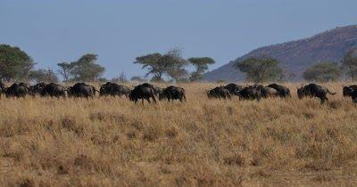 Wildebeest herd moving