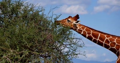 Giraffe among trees