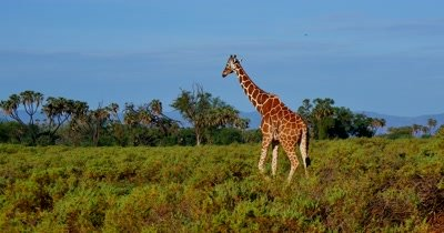 Giraffe on plains