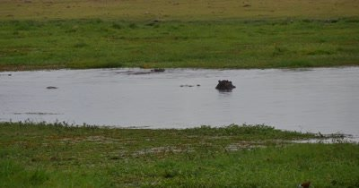 Hippos frolicking in water