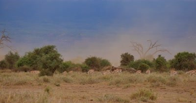 Antelope and Dust Storm
