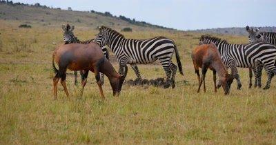 Topi Antelope and Zebras