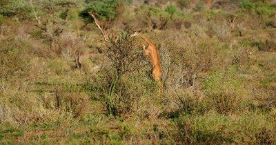Gerenuk Antelope