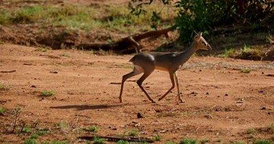 Dik Dik Antelope