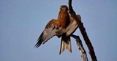 Tawny Eagle Sunning