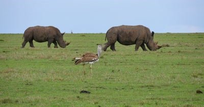 Kori Bustard and Rhinos