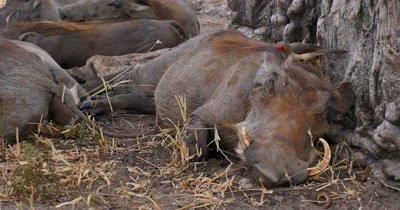 Bird grooms Warthog