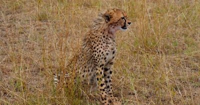 Young Cheetah rests after feast