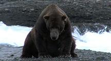 Adult Male Brown Bear ( Grizzly ) Resting While Fishing For Salmon