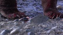 Adult Male Brown Bear ( Grizzly ) Claws, Eating Salmon