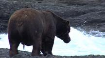 Adult Male Brown Bear ( Grizzly ) Fishing