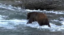 Adult Male Brown Bear ( Grizzly ) Fishing For Salmon