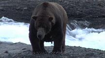 Adult Male Brown Bear ( Grizzly ) Taking Break After Fishing For Salmon