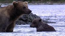 Adult Female Brown Bear ( Grizzly ) Playing With Cub