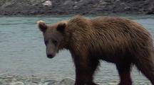 Subadult Brown Bear ( Grizzly ) Wary, Fishing For Salmon