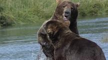Adult Brown Bears ( Grizzly ) Sparring, Playfighting