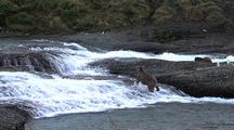 Adult Brown Bear ( Grizzly ) Wading For Salmon