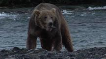 Adult Brown Bear ( Grizzly ) Eating Salmon