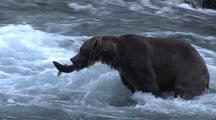 Adult Brown Bear ( Grizzly ) Catching Salmon