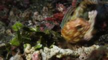 Jawfish Building Nest In Lembeh Strait