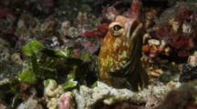 Castelnau's Jawfish Building Nest