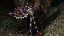 Blue-Ringed Octopus Hunting