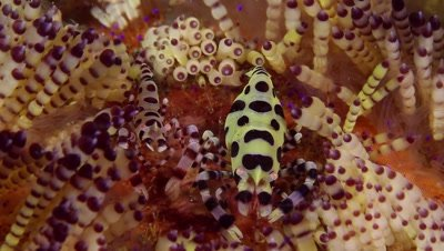 Coleman shrimp pair in fire urchin