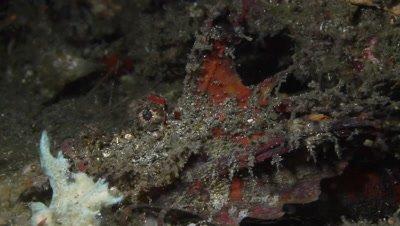 Tambja morosa nudibranch in front of devil scorpionfish