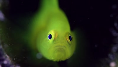 Ornate Goby close-up