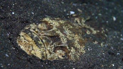 Stargazer (Uranoscopidae)