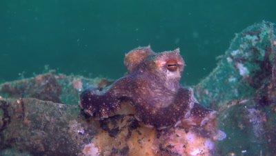 Coconut Octopus (Amphioctopus marginatus) resting on top of bottle