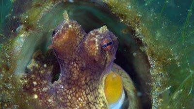 Coconut Octopus (Amphioctopus marginatus) close-up