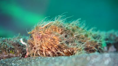 Hairy Frogfish angling