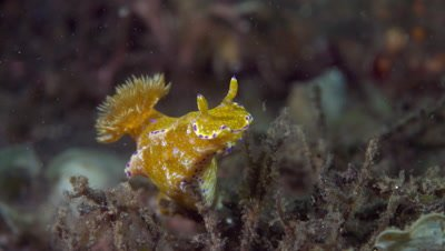 Ceratosoma tenue nudibranch sniffing for food