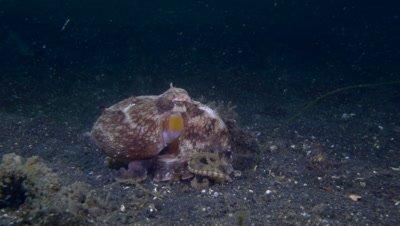 Coconut Octopus (Amphioctopus marginatus) in sand