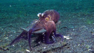 Coconut Octopus / Veined octopus playing with shells