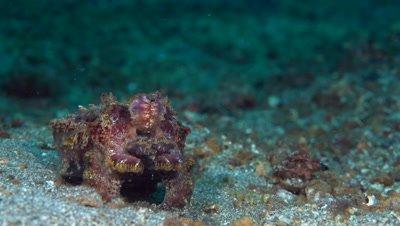 Flamboyant Cuttlefish hunting and feeding on fish