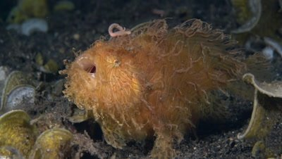 Hairy Frogfish (Antennarius striatus) breathing fast