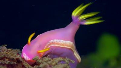 Purple and yellow Hypselodoris apolegma nudibranch