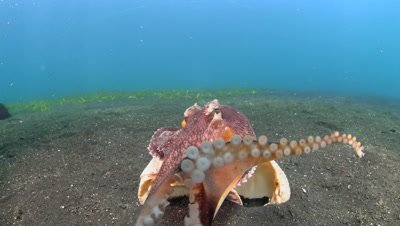 Coconut Octopus (Amphioctopus marginatus) touching camera