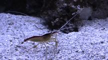 White striped Durban Dancing Shrimp