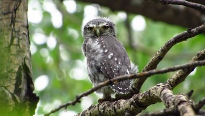 A Northern Pygmy-Owl fledgling