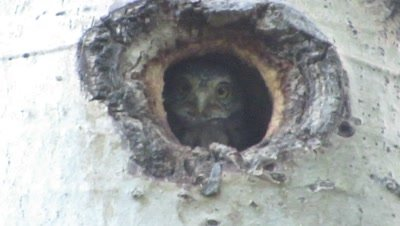 Pygmy-owl in nest cavity