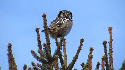 Northern Hawk Owl on conifer