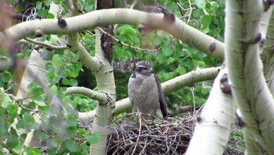 Northern Goshawk on nest